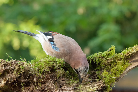 Colourful Jay bird feeding from a moss covered log in the woods