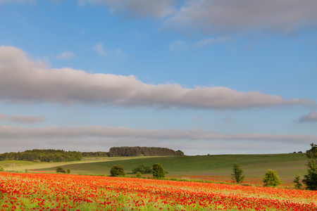 Poppy field landscape in rural Norfolk England with blue skies and clouds.
