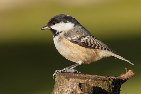 Little coal tit wildbird perched on a wooden stump. Beautifully detailed close up against a green background in Norfolk UK