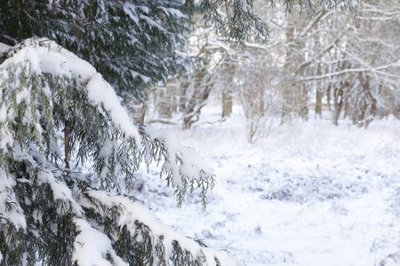 Beautiful winter snow scene in woodland forest with close up on snow branches and distant view to trees