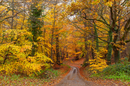 Stunning bright autum tree colours after the rain with a rural road or path leading through the forest. Woodland scene with orange and yellow and red fall leaves