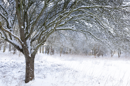 Beautiful winter snow scene in woodland forest with trees covered in fresh snow