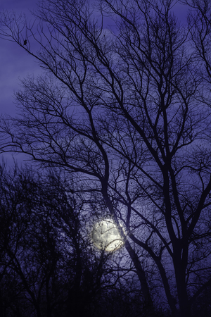 Moon and moonlight shining through the bare winter trees with a dark night blue sky Reklamní fotografie