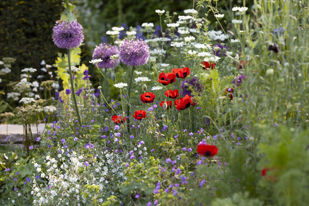 Wild spring flowers growing in the garden. Poppy and
