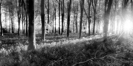 Bluebell woodland  during sunrise. Black and white forest landscape during English springtime