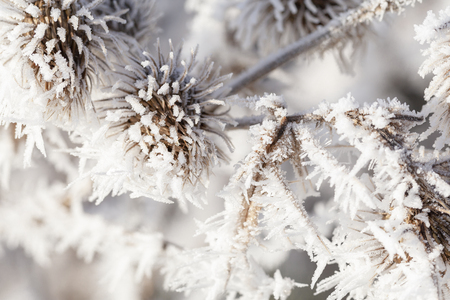Thistle in winter covered in long ice crystals from freezing fog. Macro close up of frost on a garden plant