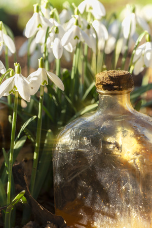 Fresh snowdrops in the wild close up at eye level, with an old glass bottle catching early morning sunlight. Portrait view.