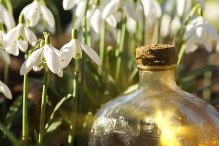 Fresh snowdrops in the wild close up at eye level, with an old glass bottle catching early morning sunlight. Landscape view.
