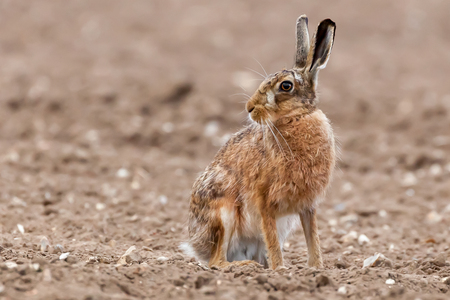 Stunning large wild brown european hare in the ploughed fields of Norfolk UK. Close up view of a hare animal sat on a dirt field looking around.