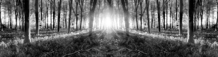 Bluebell woodland  during sunrise. Black and white forest landscape during English springtime