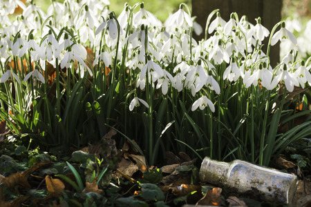 Stunning wild snowdrops at eye level and an old glass bottle. Early morning sunlight in February Reklamní fotografie