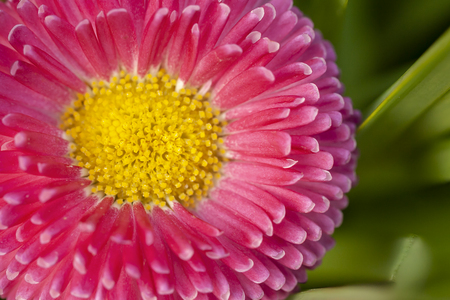 Macro flower head of a pink Bellis perensis daisy with a yellow center. High detail close up garden image in spring time