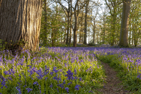 Amazing bluebell forest with path in spring time. English nature woodland at sunrise.