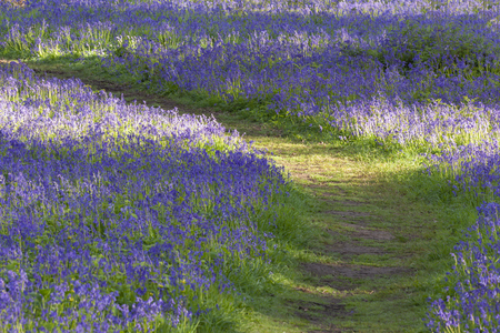 Path through bluebell woodland in spring. Norfolk woods and forest at sunrise.