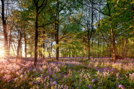 English bluebell woodland with stunning sunrise light shining through the trees. Purple wild spring flowers landscape in full bloom.