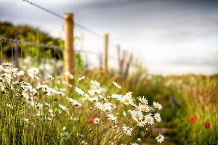 Wild flower daisies along a rural fence line. Natural landscape in Norfolk England