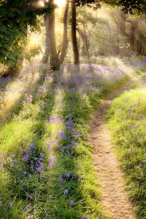 Bluebell woodland path at sunrise. Dawn sun coming through the trees with forest trail leading into the distance 免版税图像
