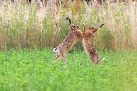 Wild brown hares boxing close up in an agricultural field in Norfolk UK