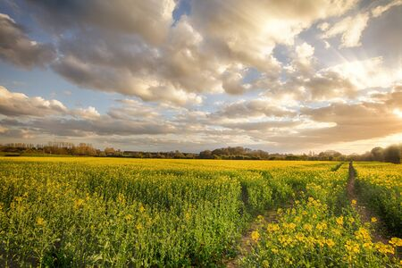 Sunset landscape over rapeseed crops in rural Norfolk. Beautiful clouds and natural light over tracks through a crop field.