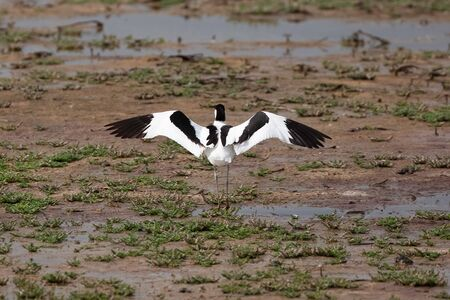 Avocet bird with wings open standing on marsh land. Black and white animal wildlife in Norfolk UK