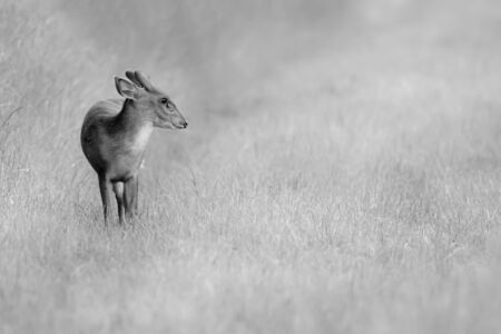Wild young muntjac deer alone in a natural rural landscape. Black and white animal close up portrait in a grass field. Also known as the barking deer 免版税图像