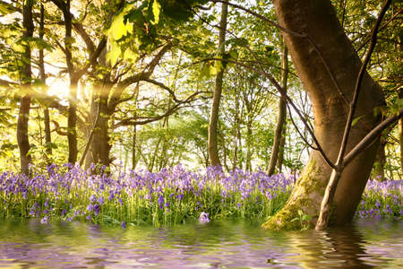 Bluebell forest with water reflections and bent tree during sunrise. Magical landscape in a beautiful woodland during spring in Norfolk England