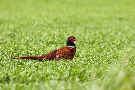 Male pheasant walking open crops, Wild bird imported for leagal hunting and shooting by land owners in the UK England 免版税图像