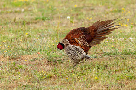 Male pheasant courting a female pheasant and displaying a fan tail of feathers while bowing. The female is ignoring the male. Stock Photo