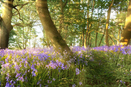 Forest of bluebells at dawn with a secret path through the trees and woodland. Landscape nature scene in springtime in Norfolk Uk at sunrise.