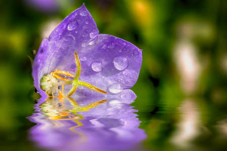 Single Campanula purple flower resting on the water close up with early morning dew drops in July. Colorful cupped petals surround the stamen head