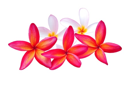 Red and White Plumeria Isolated photo