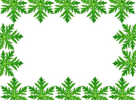 Frame of green papaya leaf on white photo