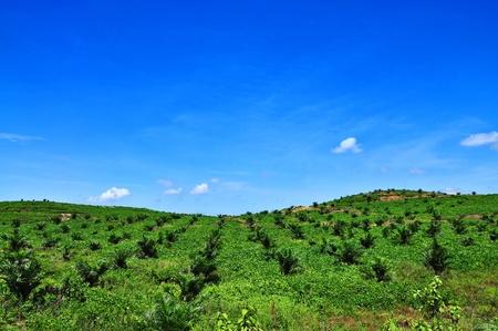 trabajador petroleros: vistas de la plantaci�n de palma aceitera en la colina