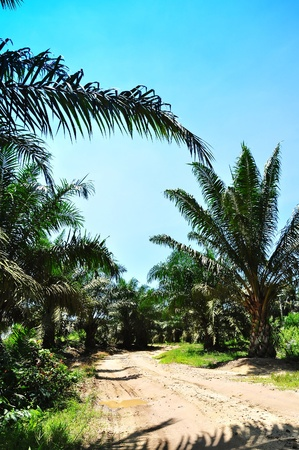 way to the oil palm plantation
