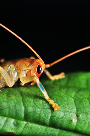 predatory insect: Crickets rest at night on a green leaf