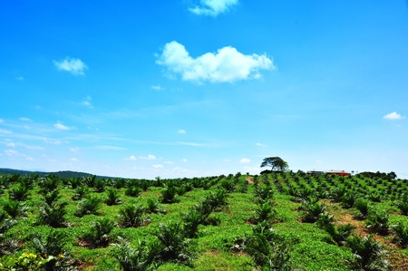 Vistas de las plantaciones de aceite de Palma y árboles lugar en colina de descanso Foto de archivo