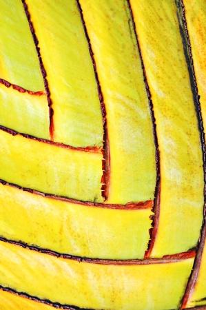 Beautiful pattern of  banana stem photo