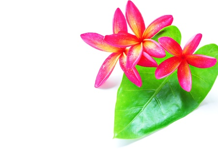 Red plumeria and green leaf on white Stock Photo - 10469638