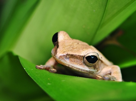 Close up frog ready to hunting on green leaf