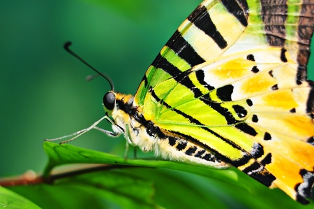 Colorful butterfly on green leaf macro photo