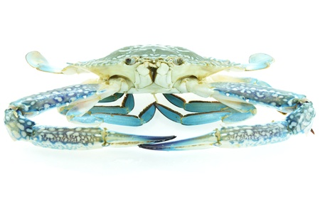 Fresh blue crab isolated on white photo