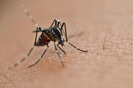 Mosquito chupar la sangre humana en Extrem macro