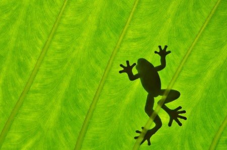 Silhouetted frog on green leaf Stock Photo
