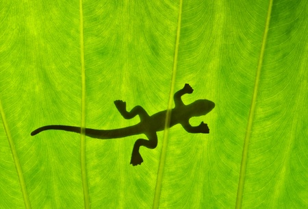 Silhouetted gecko on green leaf photo
