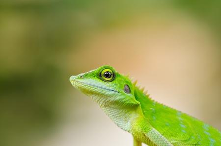 africa chameleon: Beautiful green gecko lizard