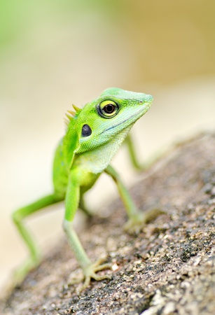 africa chameleon: Beautiful green gecko lizard on rock find something Stock Photo