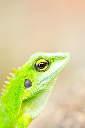 Close up green gecko lizard photo