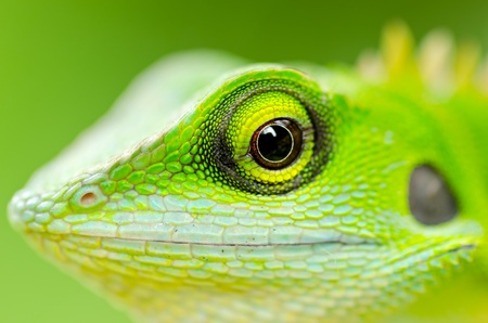 Close up green lizard eye photo