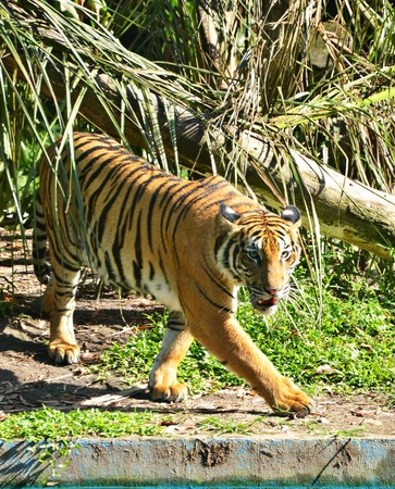 intresting: Tiger walking and faced something intresting