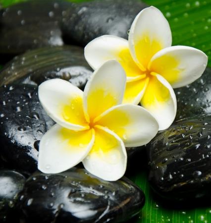 White frangipani on stone close up photo
